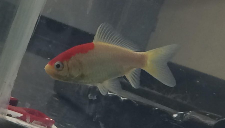 Lil%27+Red%2C+one+of+the+fish+being+trained+in+Mrs.+Rachael+Garner%27s+animal+behavior+class.